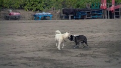 Three dogs playing, fighting on beach, super slow motion 240fps Stock Footage
