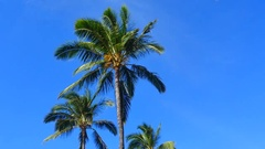 HD Palm Trees with a slight breeze. Stock Footage