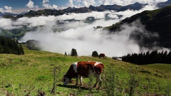 Cows on the mountain pastures Stock Footage