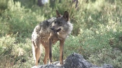 Slow motion of entire wolf eating over rocks Stock Footage