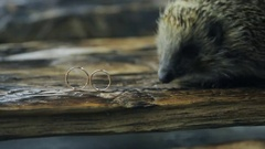 Little hedgehog explores two gold wedding rings on tree Stock Footage