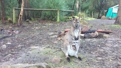 Wallaby with Joey in its pouch standing and being alert Stock Footage
