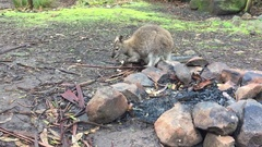 Wallaby with joey in pouch eating on the grass Stock Footage