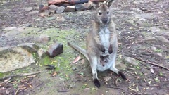 Wallaby with joey in pouch eating and watching Stock Footage