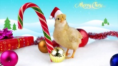 New Year and Christmas 2017 greeting card with text, young cock or rooster Stock Footage