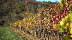 Beautiful vineyard in autumn colors Stock Footage