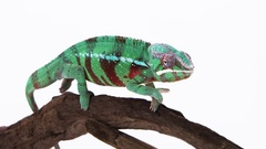 Chameleon stable wide on branch Stock Footage