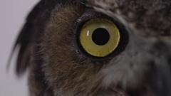 Great horned owl close up eyeball macro Stock Footage