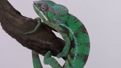 Chameleon close up on branch Stock Footage