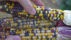 Indian corn native colored heirloom Stock Footage