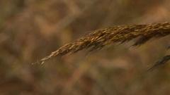 Prairie grass seed head Stock Footage