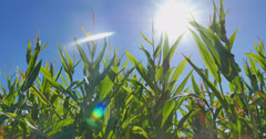 Cornfield in Texas with lens flare Stock Footage