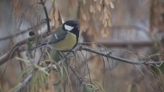 Great tit Parus major, On berries in frost, Midlands, winter Stock Footage