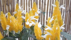 Pachystachys Lutea Golden Shrimp Plant Stock Footage