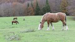 Beautiful wild horses in the forest in the mount Cucco in Umbria, in Italy. Stock Footage