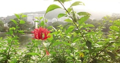 Lake Ad Excellectiam Flower with Chung Chi College as background Stock Footage