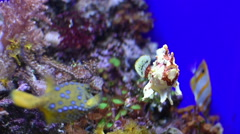 A Frog fish looking in the camera Stock Footage