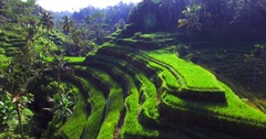 Famous attraction of Ubud. Rice terrace field plantation at Tegallalang. Stock Footage
