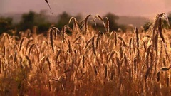 Sheaves Of Wheat At Dusk Stock Footage