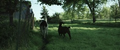Goat and llama walking on green pasture during the day Stock Footage