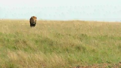 African Lion (Panthera leo) male walking towards camera, lock shot low angle Stock Footage