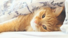 Cute ginger cat lying in bed under a blanket. Fluffy pet playing with something Stock Footage