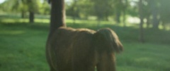 Brown llama walking on green pasture during the day Stock Footage