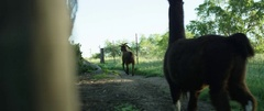 Goat and llama walking in field during the day Stock Footage