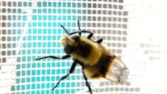 Bumblebee creeps on lace curtain Stock Footage