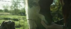 Woman feeding a llama in farm on a sunny day Stock Footage