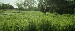 Llama and goat walking in green field on a sunny day Stock Footage
