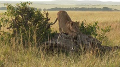 African Lion  juvenile playing on a fallen tree, lock shot low angle Stock Footage