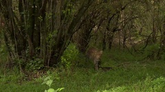 Leopard (Panthera pardus) walking around in forest, looking at camera. Zoom Arkistovideo