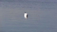 Seagull during the hunt. Stock Footage