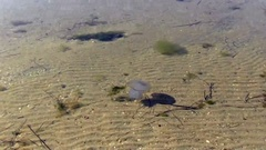 Jellyfish moves in the sea, clear water. Stock Footage