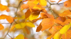 Brown, yellow and golden leafs on a Beech trees in the fall Stock Footage