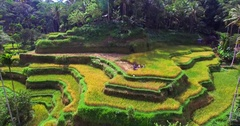 Farmers harvesing rice. Famous attraction of Ubud. Rice terrace field plantation Stock Footage