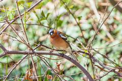 Male Common Chaffinch Stock Photos