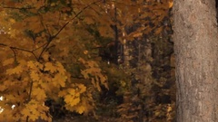 A girl coming out of the depths of the wood stops by a tree against the autumnal Stock Footage