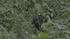 Gorilla walking through the African jungle. Stock Footage