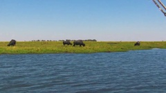 African Buffalo feeding on grass at river in Botswana Stock Footage