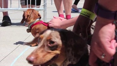 Three Weiner Dogs Stock Footage
