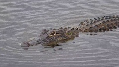 American Alligator Swimming in Marsh Along Pintail Wildlife Drive in Louisiana Stock Footage