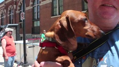 Brown Wiener Dog's ears flapping in the wind CU Stock Footage