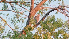 Cooper's Hawk in Tree During Sunset Stock Footage