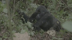 Gorilla sitting in the African jungle. Stock Footage