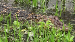 American Alligator Swimming Through Swamp in Louisiana Stock Footage