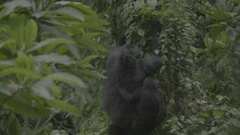 Mother and baby gorilla eat leaves in the African jungle. Stock Footage