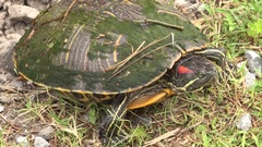 Red-Eared Slider Turtle in Louisiana Stock Footage