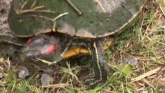 Red-Eared Slider Turtle Runs to Safety in Louisiana Marsh Stock Footage